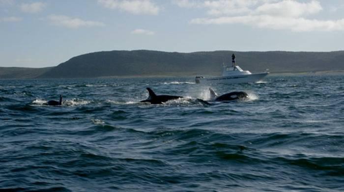 orca 8